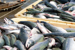 Инвестор в промысловый вылов морепродуктов